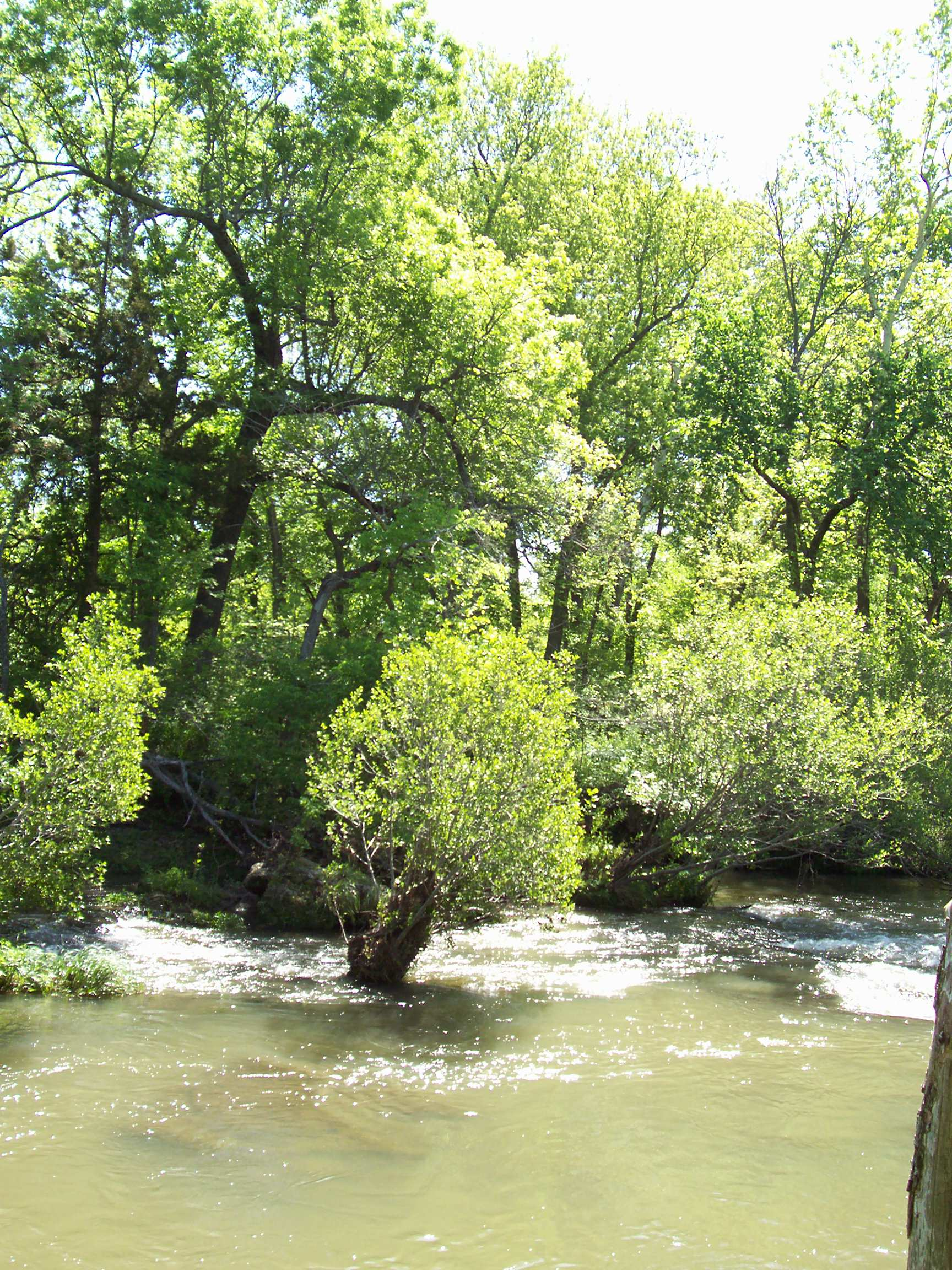 Photo of an alder by the river